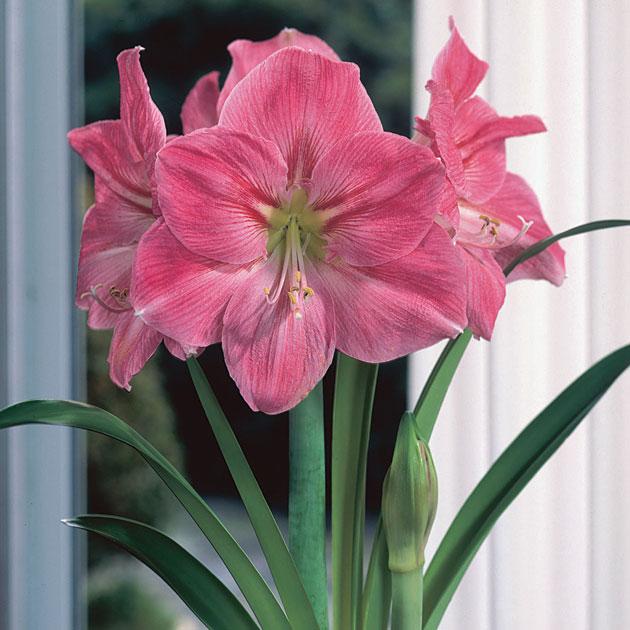 Amaryllis pink for Amaryllis sweet pink