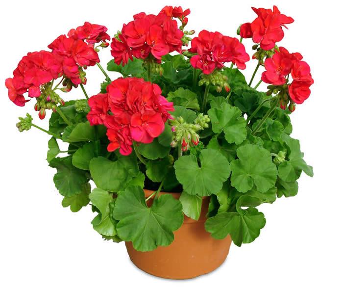 Flowers Similar To Lilies: Geranium