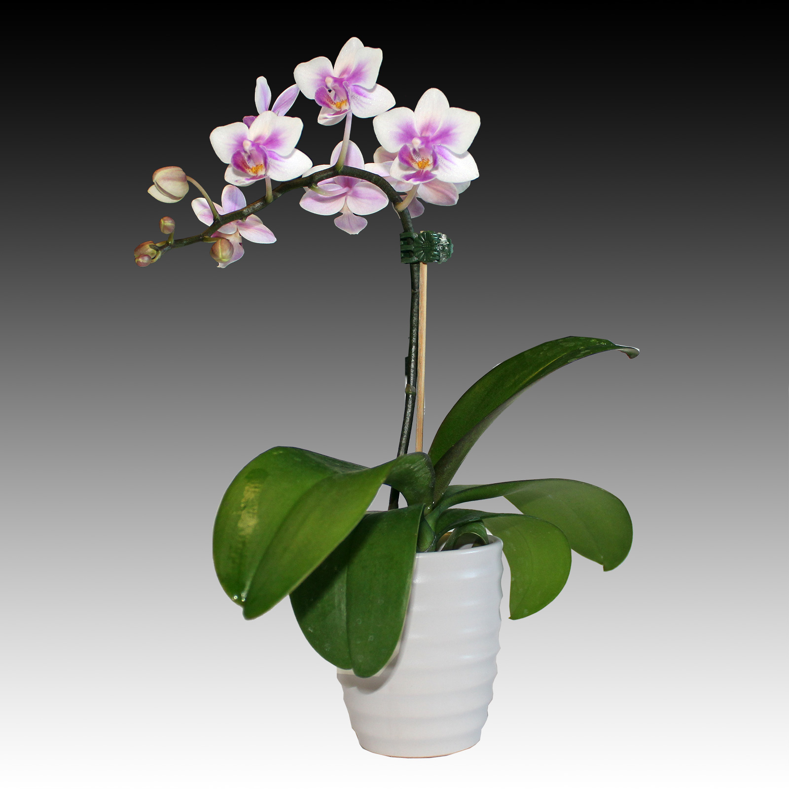 White Orchid Water Pink: Orchids Phalaenopsis White & Pink