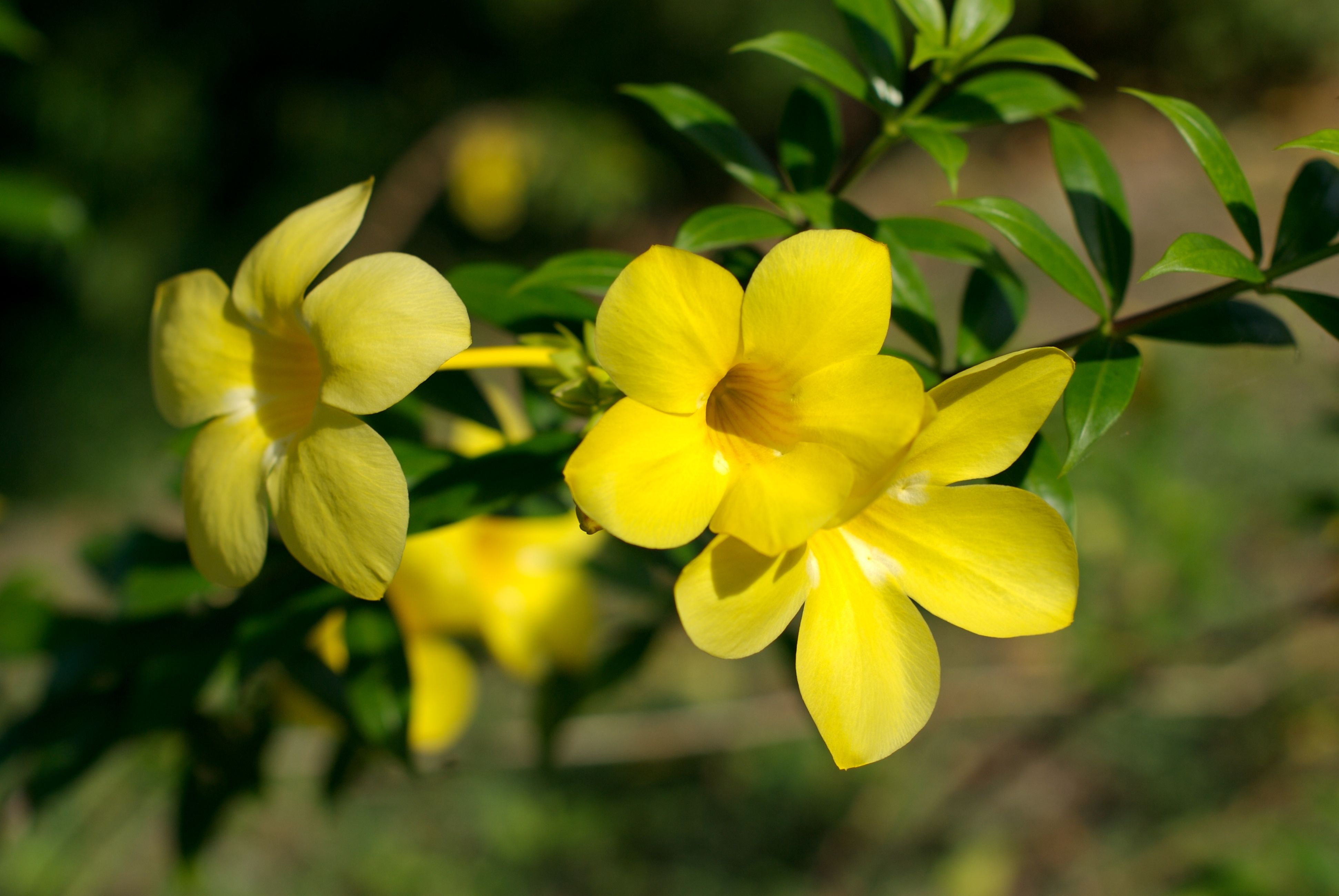 Allamanda - Yellow